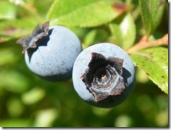 1189744_wild_maine_blueberries