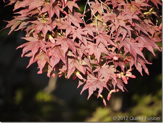 Pleasant Bay Village, Chatham, MA - Japanese Maple
