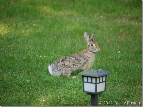 Pleasant Bay Village, Chatham, MA - Rabbit