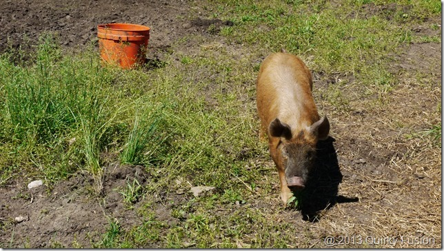 Tamworth pigs at Viamde Resort