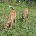 Grey Wildlife Sanctuary Baby Deer