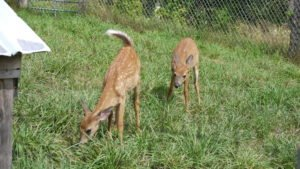 Maine Wildlife Park Baby Deer